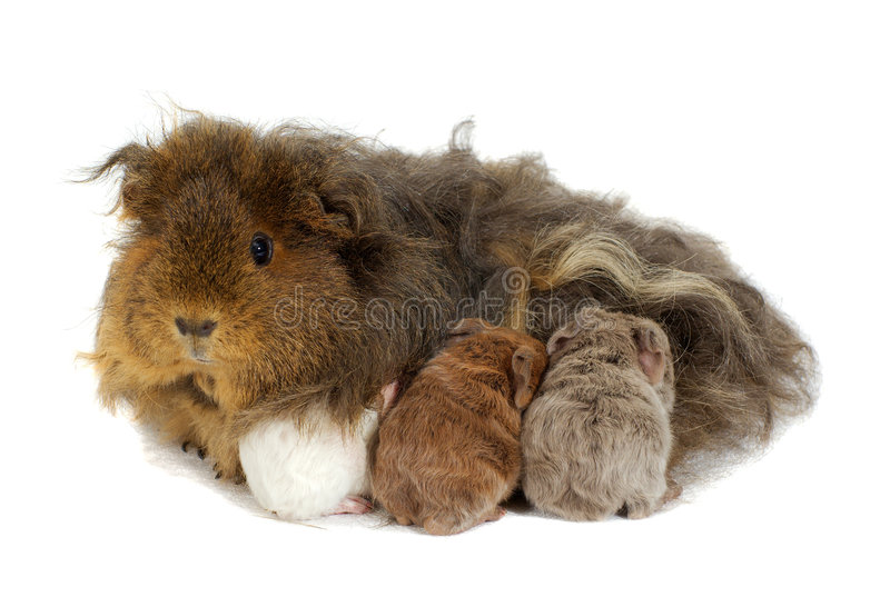 Mother guinea pig and three babies stock image