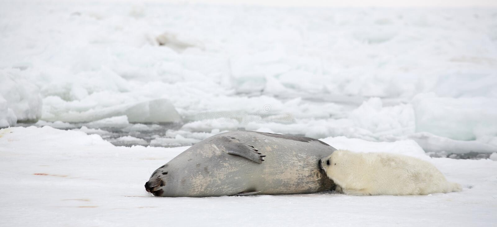 Mother harp seal cow and newborn pup stock images