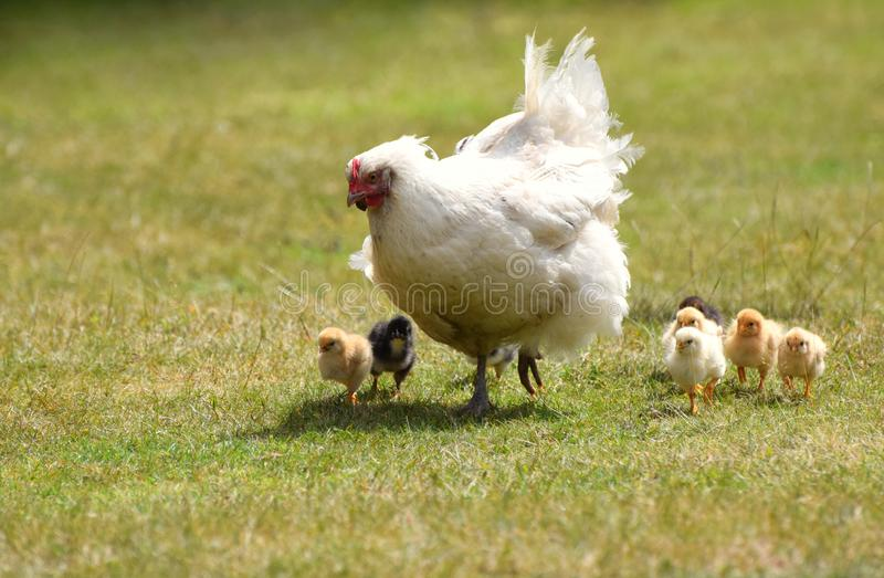 Mother hen with baby chicks. A white mother hen / chicken with fluffy baby chicks stock photography