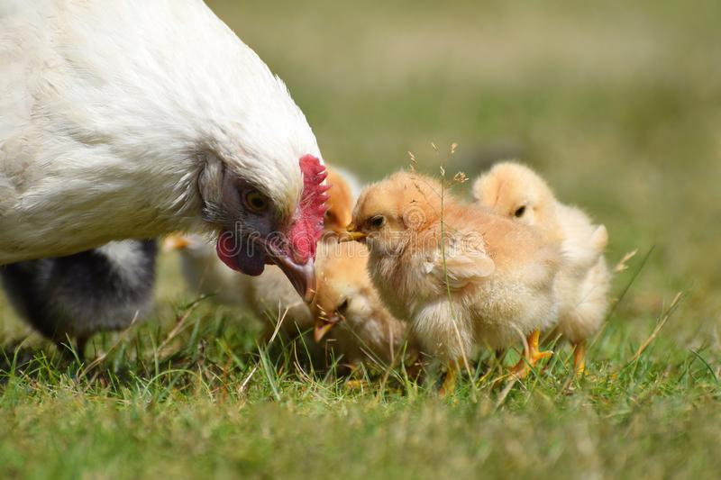 Mother hen with baby chicks. A white mother hen / chicken with fluffy yellow baby chicks stock photography