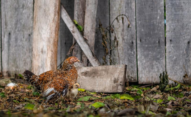 Mother hen brooding her chicks stock image