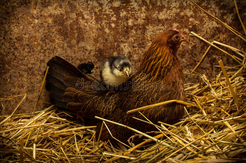 Mother Hen Cares for New Chicks stock photography