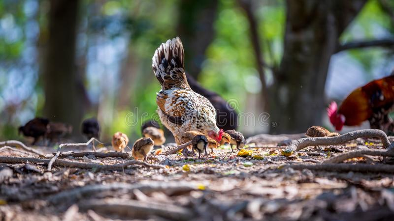 Mother hen and her baby Chickens pecking grain on ground. Chicks with their mom eating grain on ground royalty free stock image