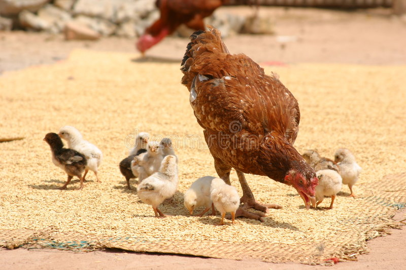 Mother hen and her chicks stock photos