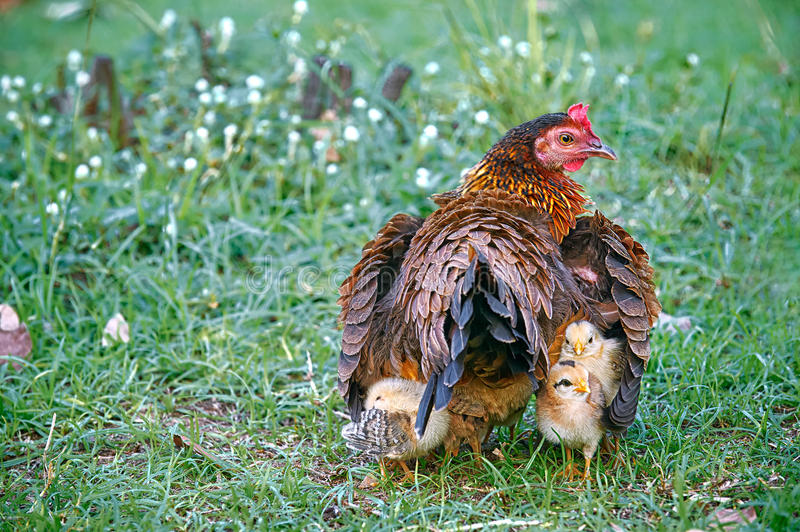 Mother hen hiding young chicks under her wings stock image