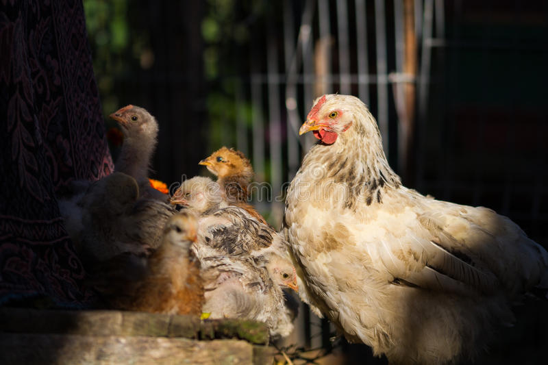 Mother hen with its baby chicks stock image