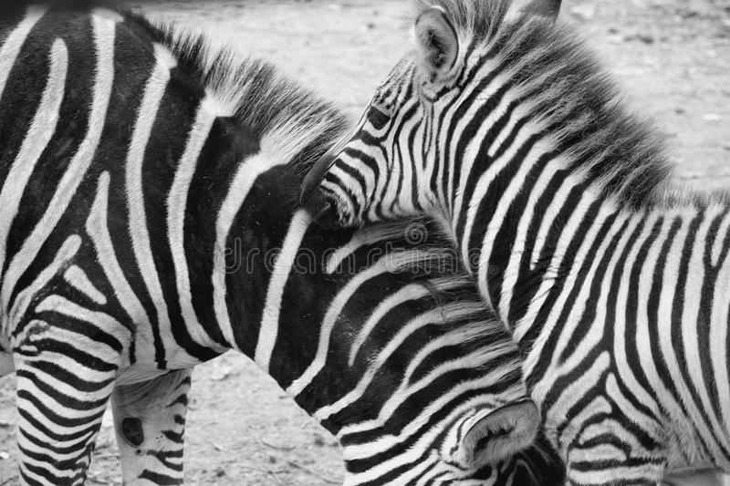 Zebra, Equus Quagga in the Zoo Blijdorp in the city Rotterdam in the summer in black and white. royalty free stock image