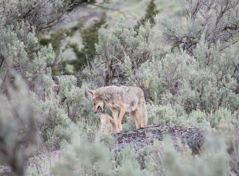 A Mother and Her Pup. A mother coyote outside of a coyote den at Yellowstone National Park. This was a well known area for coyote sightings right off one of the royalty free stock photography