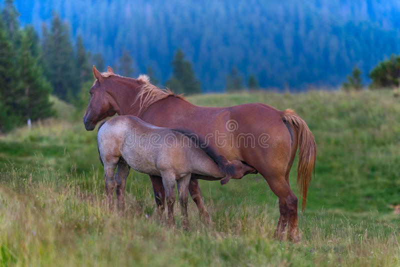 Foal sucks mare. On a green meadow royalty free stock image