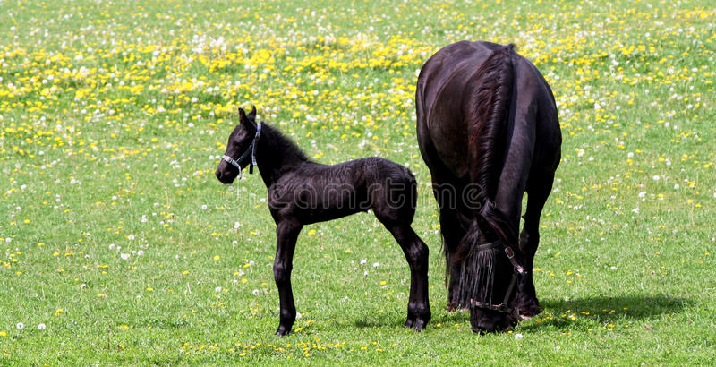 Mother Horse And Her Baby Royalty Free Stock Photo