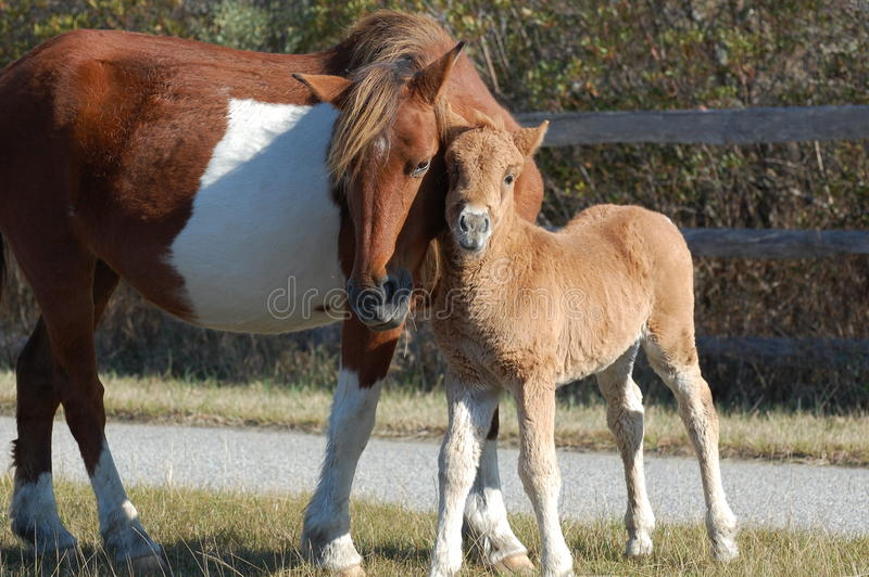 Mother Horse with her Foal royalty free stock photography