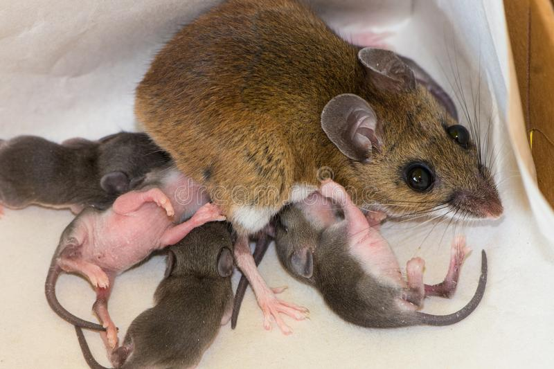 A mother house mouse with her newborn offspring in the corner of a kitchen drawer. A mother house mouse, Mus musculus,nursing her newborn pinkies on a white royalty free stock photos