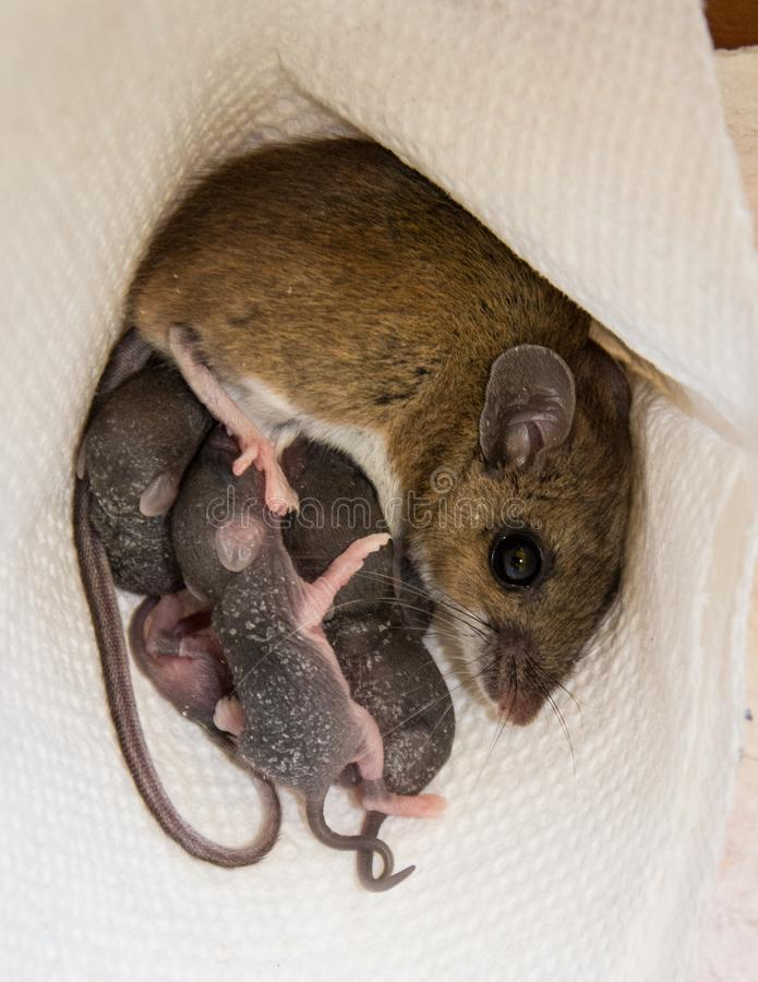 A mother house mouse, Mus musculus, nursing her offspring. A mother house mouse, Mus musculus, nursing her young in a kitchen cabinet on a white paper towel stock images