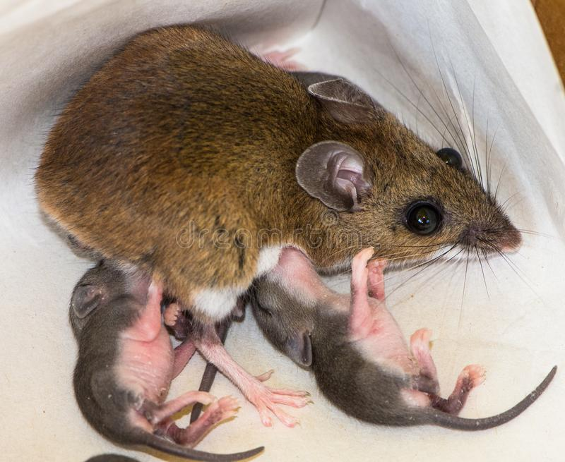 A mother house mouse, Mus musculus, nursing her young. Top view of a wild brown house mouse, Mus musculus, nursing two offspring. The mother mouse is brown and royalty free stock photos