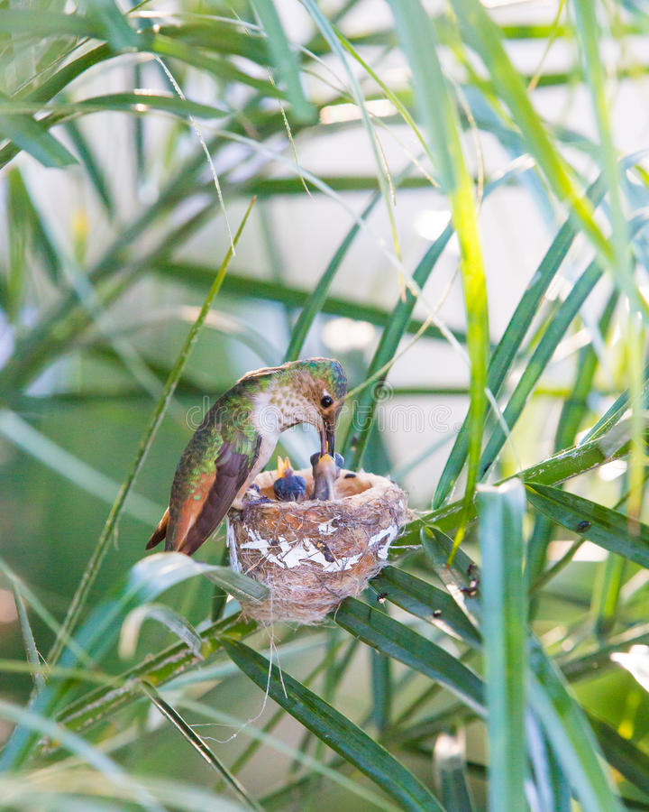 Mother Hummingbird Feeding her newborns stock images