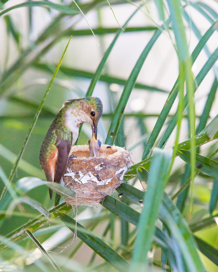 Mother Hummingbird Feeding her young stock images