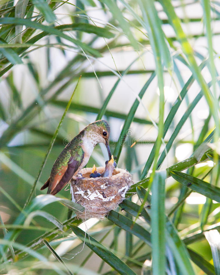 Mother Hummingbird Feeding her young stock image
