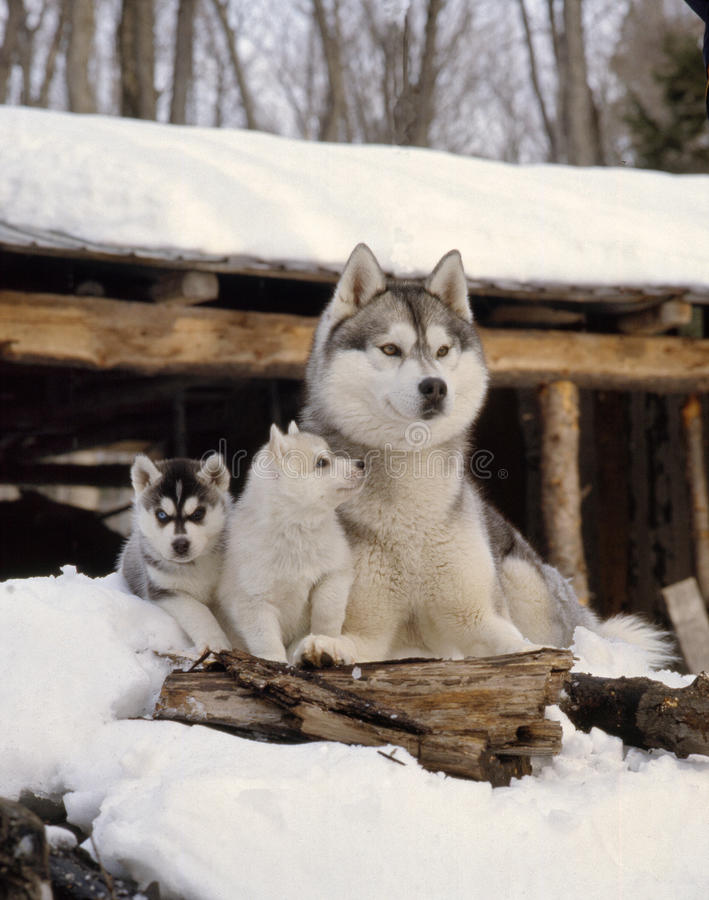 Mother husky with 2 puppies royalty free stock photo