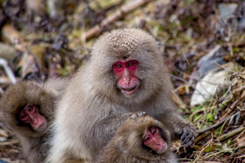 Mother Japanese Macaque grooms a young monkey. An older female Japanese Macaque, or snow monkey, grooms a small, juvenile monkey. These monkeys are the northern royalty free stock photography