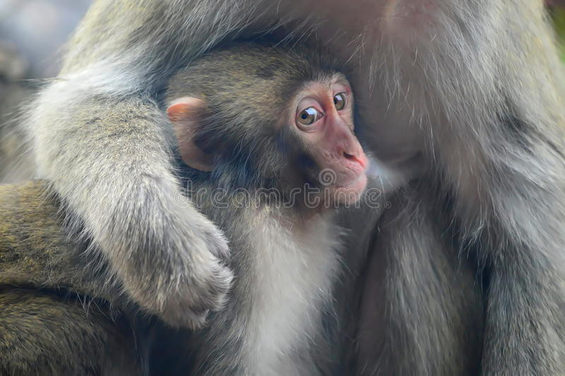 A mother Japanese macaque holds her baby. This photo was taken at Lincoln Park in Chicago , Illinois stock photography