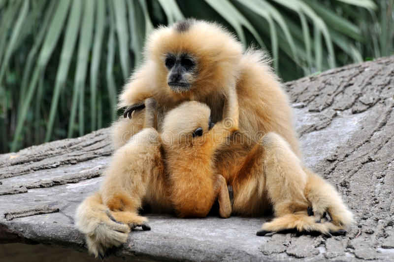 Download Mother And Kid, Hoolock Gibbon Stock Image - Image: 23520241
