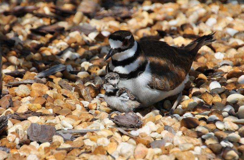 Mother Killdeer stock photos