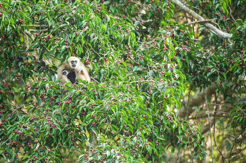 A mother Lar Gibbon or White-handed Gibbon with baby feeding on the figs tree, colorful ripe fruits of fig in season. Khao Yai, stock photos