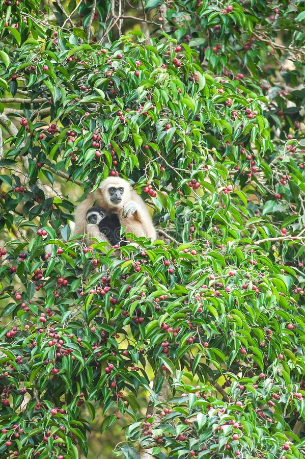 A mother Lar Gibbon or White-handed Gibbon with baby feeding on the figs tree, colorful ripe fruits of fig in season. Khao Yai, stock photo