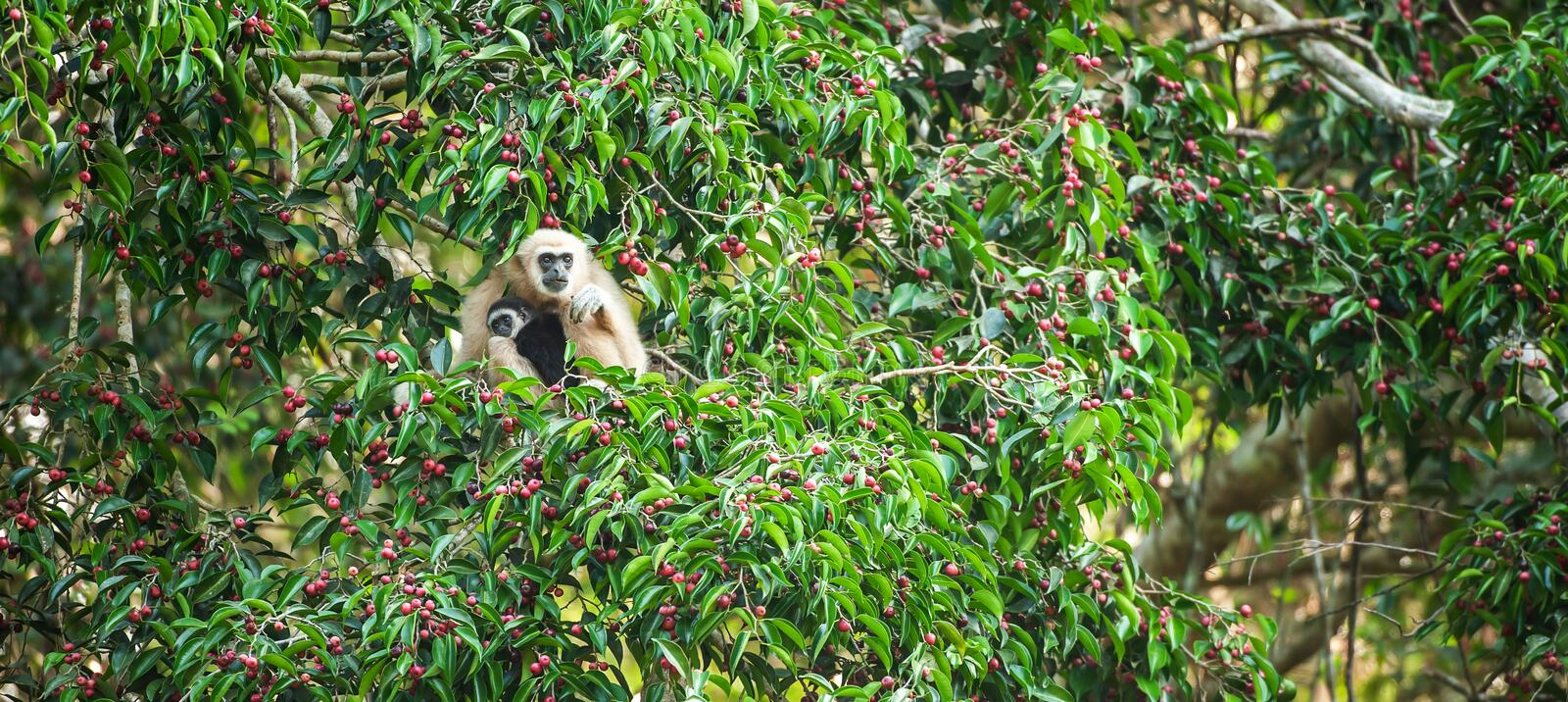 A mother Lar Gibbon or White-handed Gibbon with baby feeding on the figs tree, colorful ripe fruits of fig in season. Khao Yai, royalty free stock images
