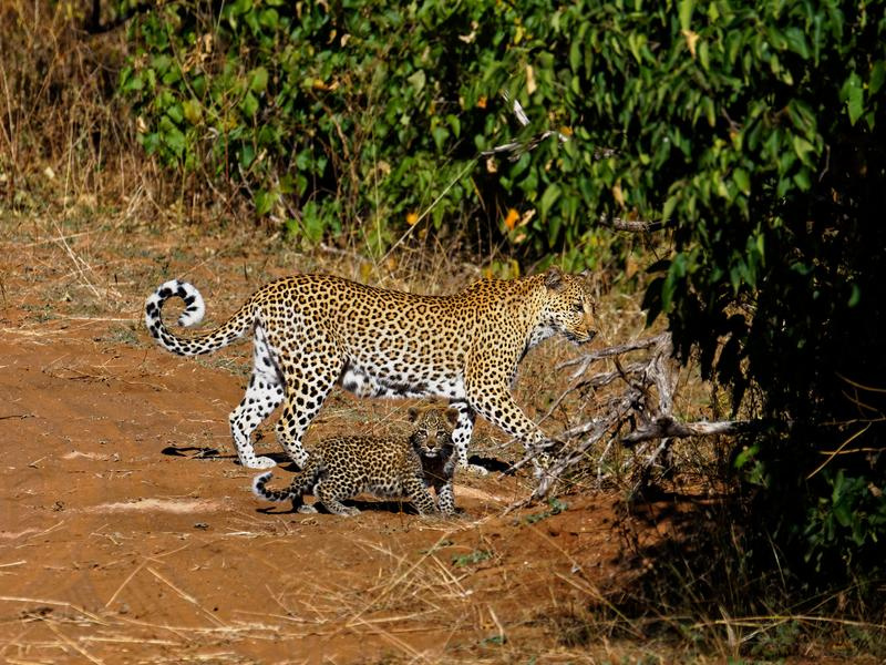 Mother leopard and baby walking across a track. In Chobe National Park, Botswana. One of the big 5 for tourists to spot stock photos
