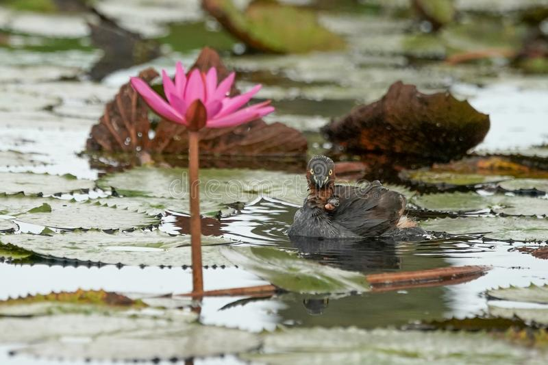 A mother little grebe with small dukings in her wing swim in a pond with soft focus pink lotus. Thailand stock photos