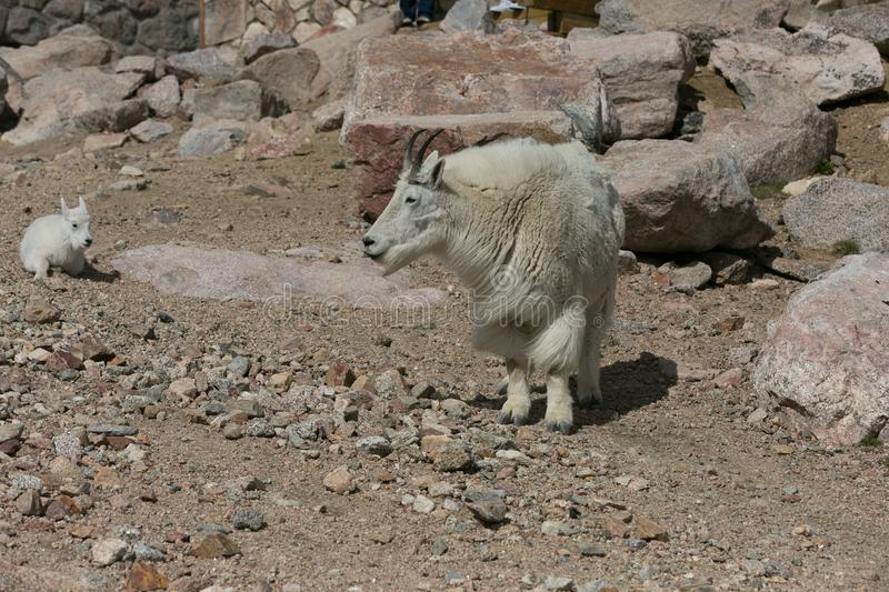 Mother and Baby Mountain Goats stock images