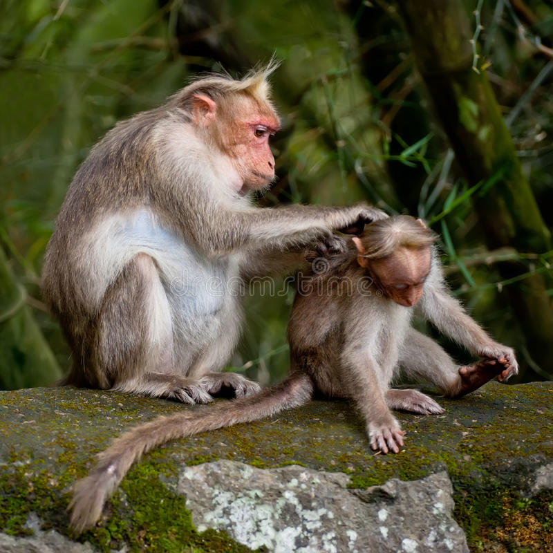 Mother macaque monkey cleaning her baby in bamboo forest stock photo