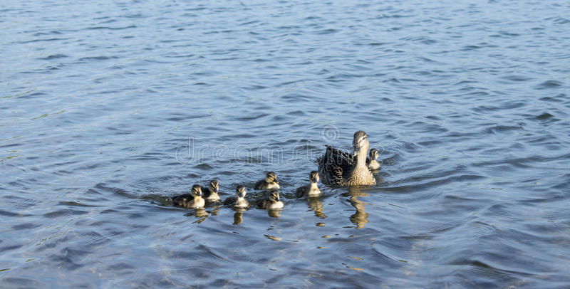 A Mother Mallard Duck With Her Severn Baby Ducklings. Photo Of A Mother Mallard Duck With Her Severn Baby Ducklings On Lake royalty free stock images