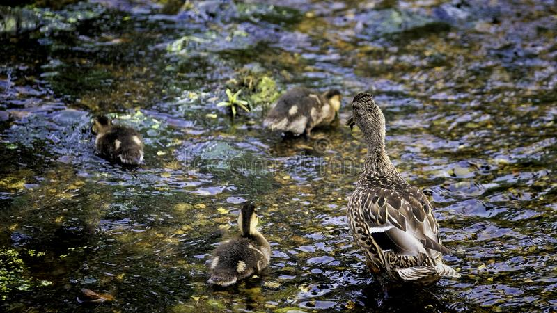 Mother mallard with her ducklings stock images