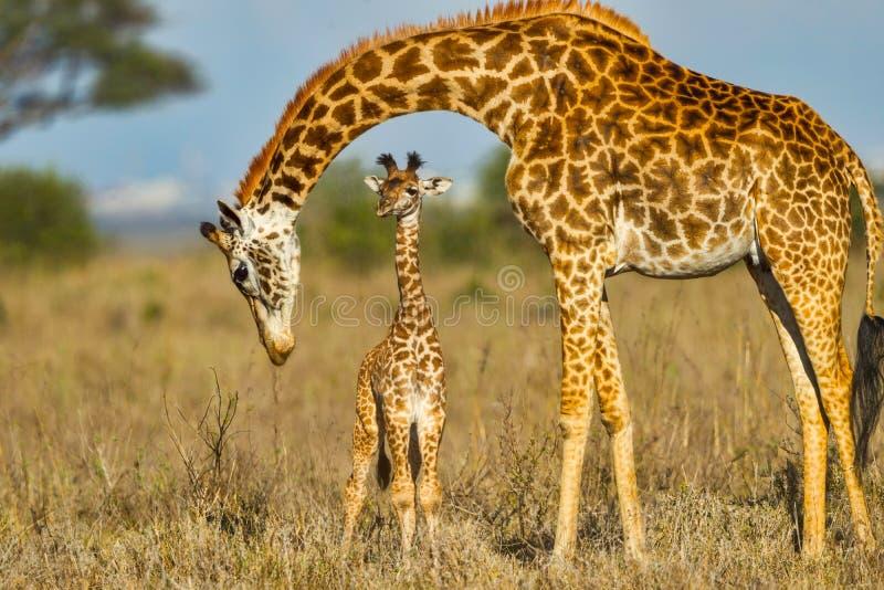 Mother Masai Giraffe Protecting Baby. A newly born Masai Giraffe calf with its Mother in Nairobi National Park, Kenya. The skyline of Nairobi is seen on the far