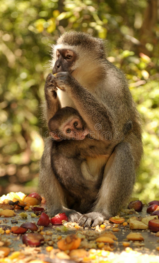 Mother monkey with a baby drinking milk stock photography