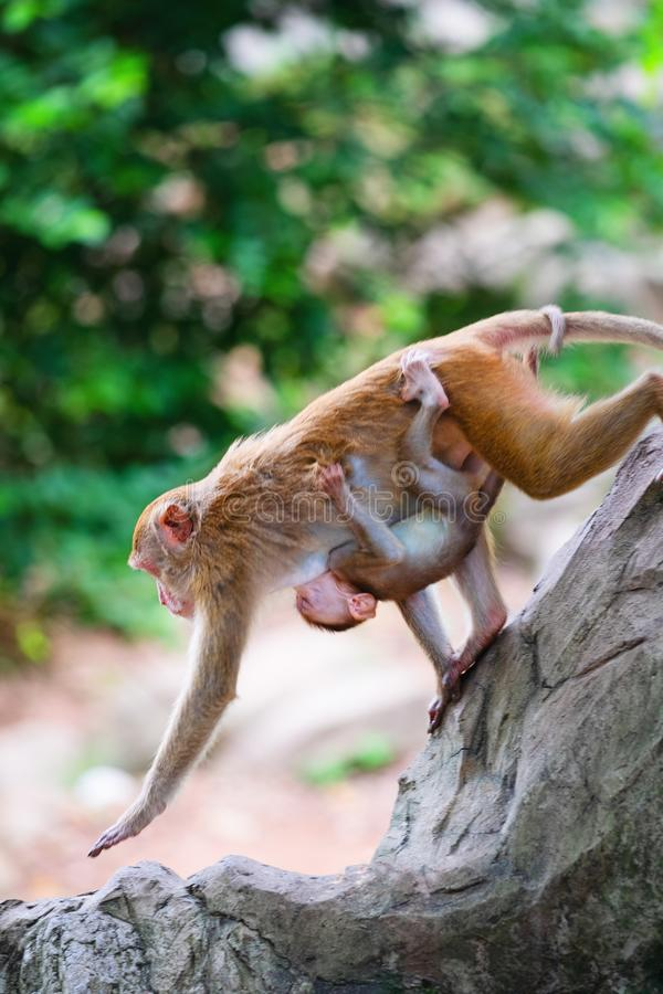 Mother monkey and baby monkey walk on rock with love stock photos