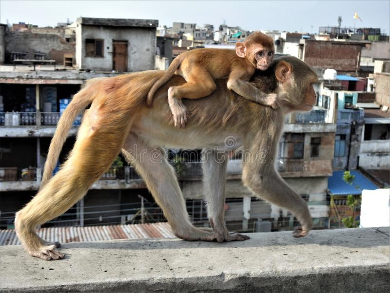 Mother monkey and her baby walking on the top of buildings in old Delhi& x27;s spice market. Mother monkey and her baby walking on the top of buildings in old stock photography
