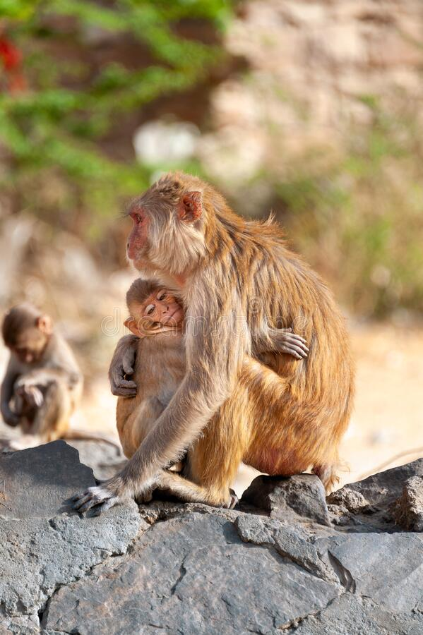Mother monkey Rhesus macaque hugging her baby royalty free stock photography