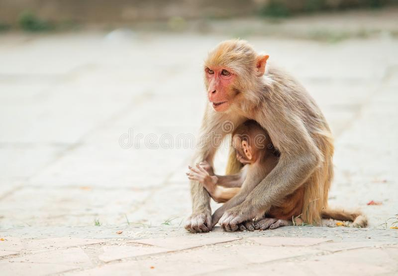 Mother monkey sitting on ground protecting and nurturing its cub looking around. Funny animals concept image stock photos