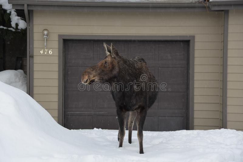 Mother Moose Looks for Her Calf Inside a Townhouse Development in Jackson, Wyoming. stock images