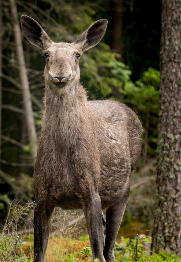 Mother Moose. Pregnant mother moose standing in the forest with her large ears standing straight up, listening for danger royalty free stock image