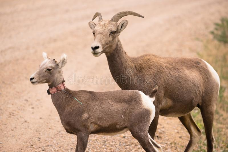 Bighorn Sheep and Calf Look to Cross the Road. A mother mountain sheep and her calf look over a spot in the South Dakota Badlands royalty free stock photos