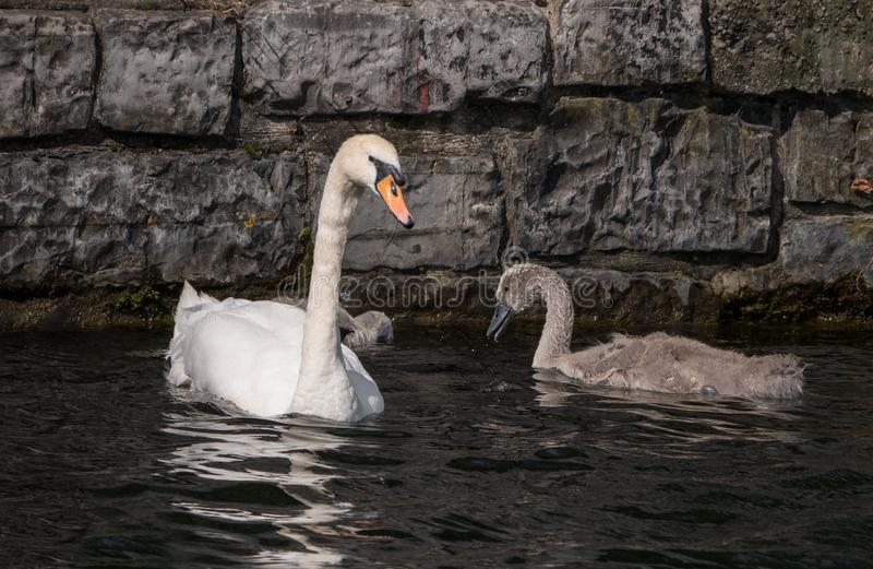 Mother mute swan with cygnet,swimming on water with old stone wall in background stock photo