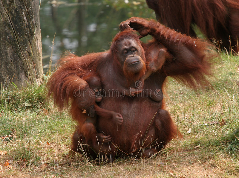 Mother orang utan with two babies stock images