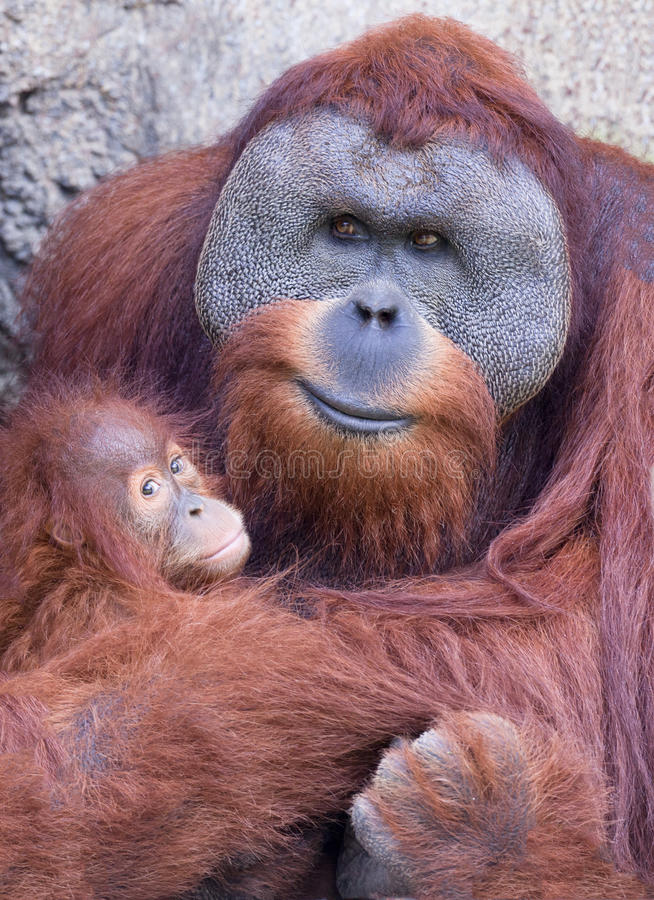 Mother orangutan with baby stock photos