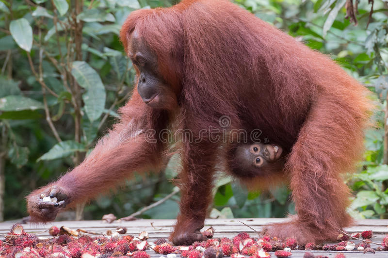 Mother orangutan chooses ripe rambutan and her child clung to he royalty free stock images