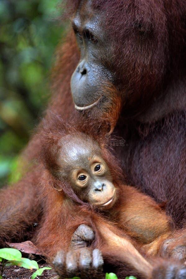 Mother orangutan and cub in a natural habitat. Bornean orangutan (Pongo pygmaeus wurmmbii) in the wild nature. Rainforest of. Island Borneo. Indonesia royalty free stock images