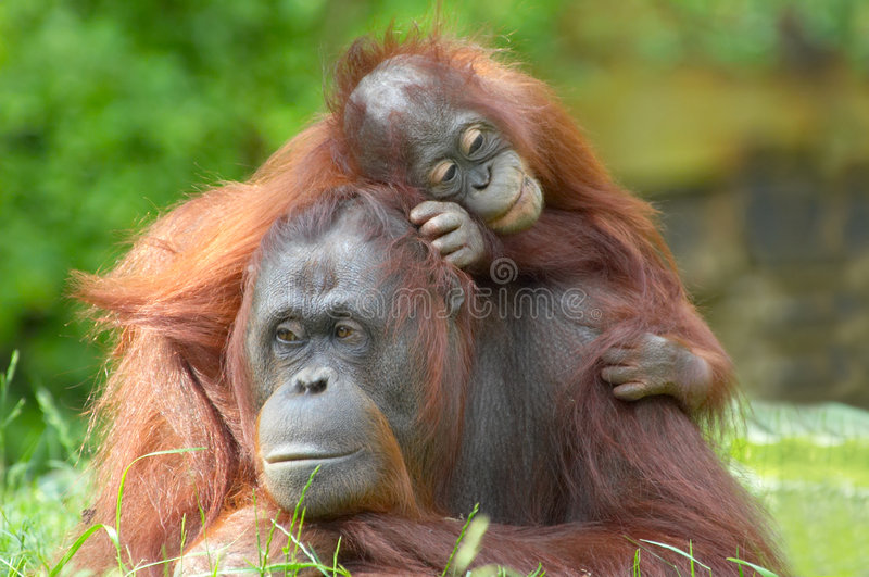 Mother orangutan with her baby royalty free stock photos